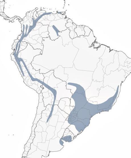 Saíra de antifaz (Pipraeida melanonota)