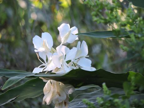 Caña de ámbar (Hedychium coronatum)
