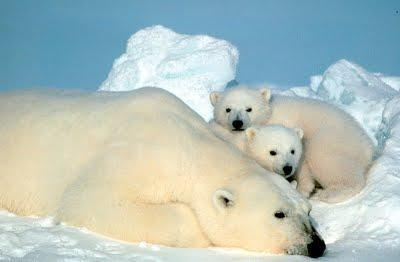La fiesta de San Patricio y los osos polares