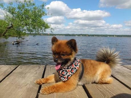 10 ideas de corte de pelo para tu Pomerania