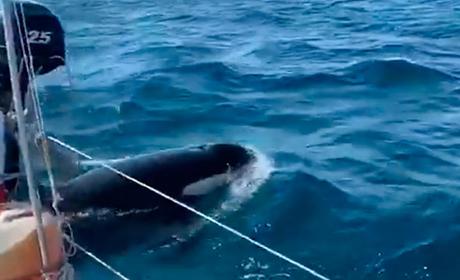 Orcas al poder