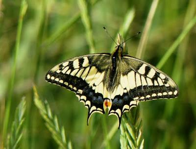 Macaón, una mariposa en declive
