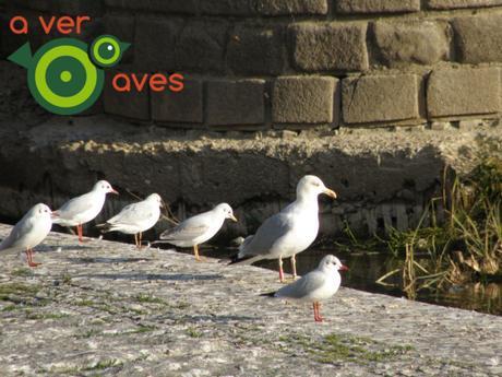 ¿Qué sorpresas nos reservan las aves urbanas este curso?