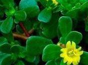 Verdolaga, planta cuesta nada sirve para todo