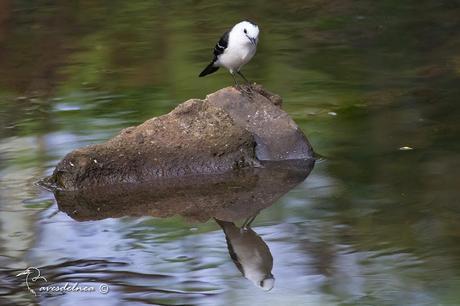 Viudita blanca (Pied water Tyrant) Fluvicola albiventer