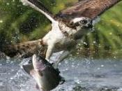Ocho águilas pescadoras liberadas Cádiz