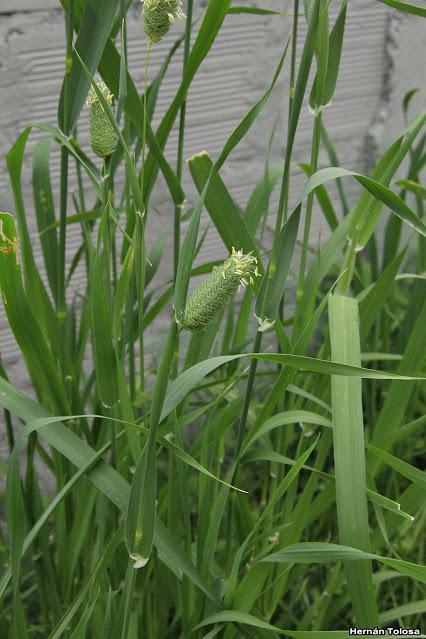 Alpistillo (Phalaris paradoxa)