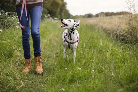 ¿Cómo pasear a tu perro en celo?