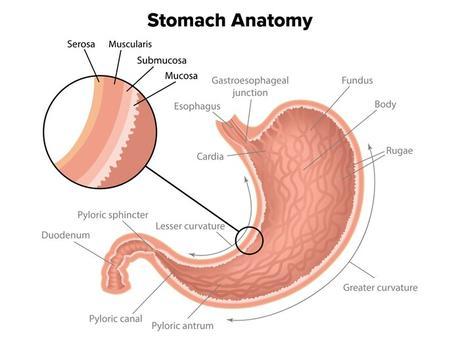 Anatomía del estómago
