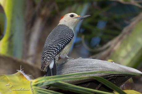 Carpintero Cheje - Golden-fronted Woodpecker / Melanerpes aurifrons (Wagler, 1829)