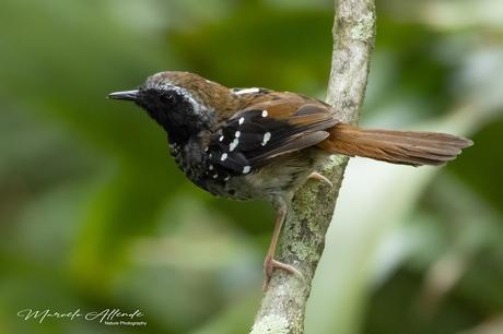 Hormiguero Escamoso - Squamate Antbird / Myrmoderus squamosus (Pelzeln, 1868)