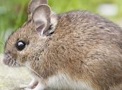 Científicos revierten pérdida visión relacionada edad ratones.