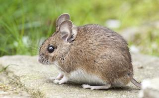 Científicos revierten pérdida de visión relacionada con la edad en ratones.