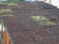 Semillas germinando