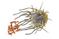 Los Ritmos Circadianos controlan el Sistema Inmunológico