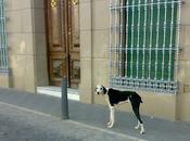 Galgo precioso joven abandonado pueblo Badajoz