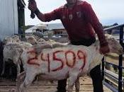 Menucos: Matías Nuin logró romper récord, esquilando total 24509 ovejas