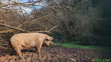 Cerdo en Faro