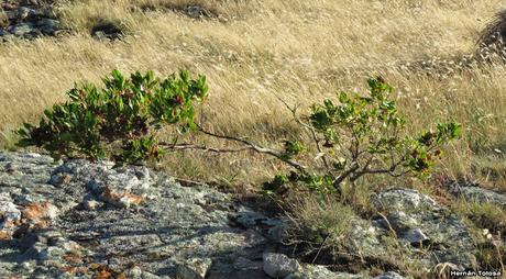 Chirca de monte (Dodonaea viscosa)