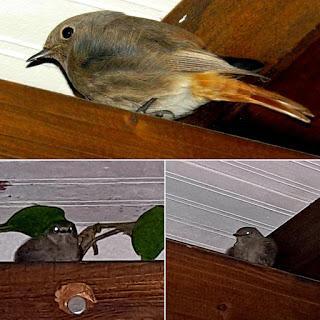 NO TE PIERDAS HOY: los últimos días de colirrojos tizones