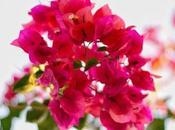 Buganvilla: cuidados, reproducción, medicinal necesitas saber esta planta