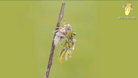 Nacimiento de una libélula / birth of a dragonfly