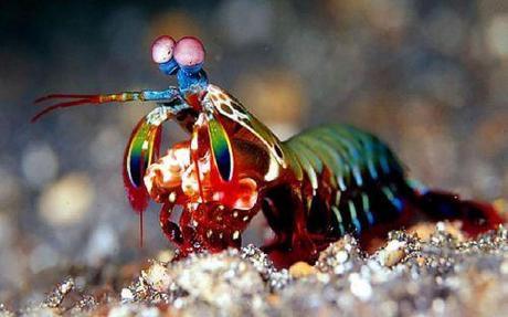 camaron mantis triturador, esteropodo