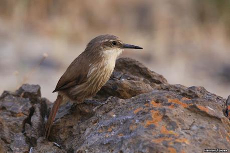 Bandurrita pico recto (Ochetorhynchus ruficaudus)