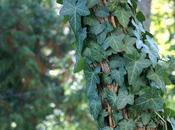 Hedera Helix نبات القلقاس العملاق labeled invasive species many parts united states, sale import banned state oregon.