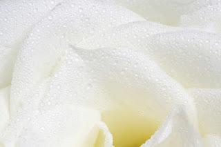 Pétalos de RosaUnos pétalos de rosa blanca van volando so...