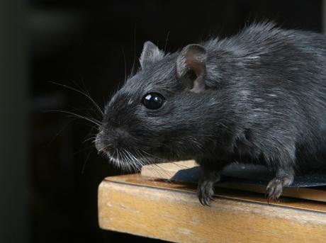 Presencia de ratas negras en Méndez Álvaro
