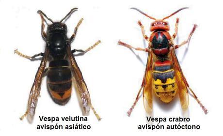 Avispa Asiática o Avispa Velutina en España