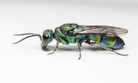 Los científicos descubren una nueva especie de avispa