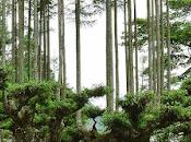 Silvicultura sostenible japonesa: daisugi