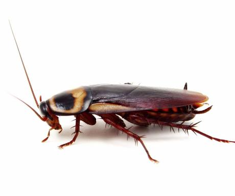 Tipos de cucarachas que te puedes encontrar en España