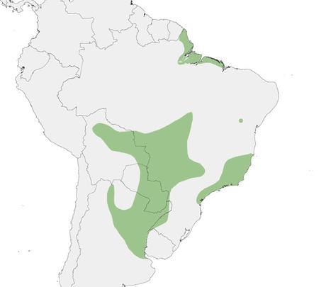 Varillero negro (Agelasticus cyanopus)