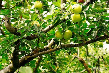 Las manzanas del Barco - Fotografía