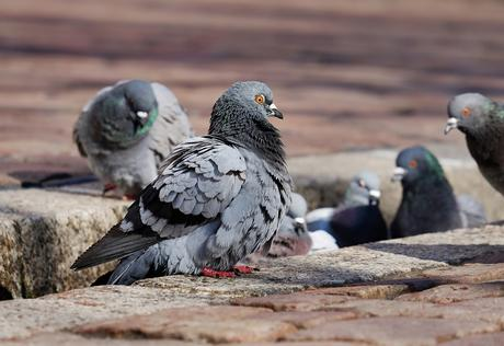 El barrio madrileño de Delicias invadido por palomas