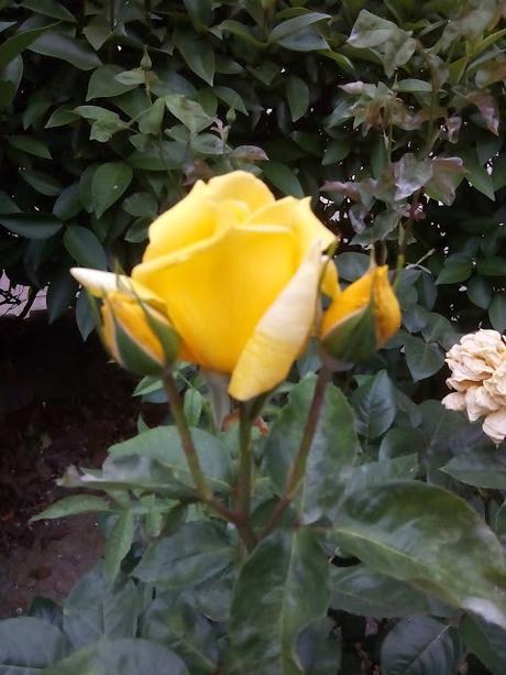 La rosa que en mayo posó su esplendor en la tarde se tran...