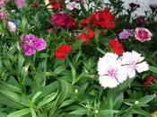 bonitos coloridos Dianthus
