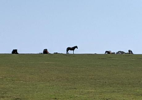 New Forest - Wild Horses