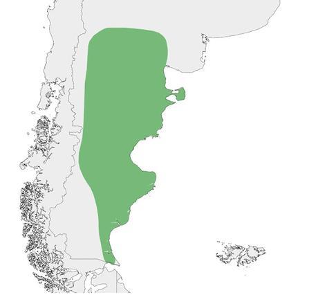 Bandurrita patagónica (Ochetorhynchus phoenicurus)