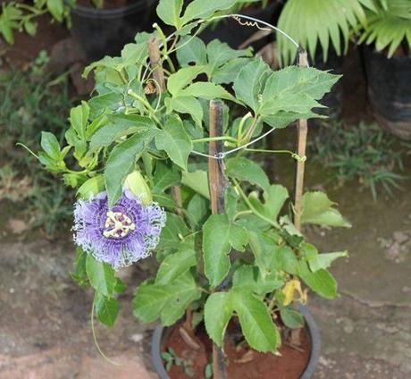 plantar pasiflora