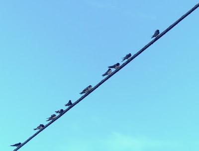 Golondrinas, preparándose para migrar