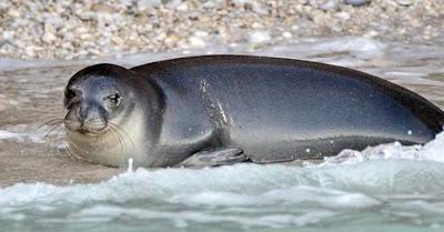 Matan de un arponazo a la foca monje más emblemática del Mediterráneo.
