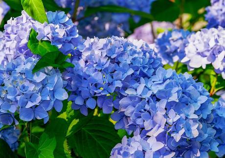 Cómo mantener más tiempo frescas las flores de las hortensias