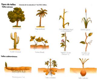 Funciones del Tallo en las Plantas