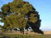 Árboles singulares Huesca Pino Gurrea Gállego