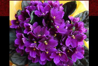 http://m1.paperblog.com/i/67/675463/ramito-violetas-cecilia-julio-iglesias-T-gAZ1Rq.jpeg