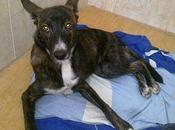 Hiena, perrita abandonada, atropellada salvada otro perro. URGENTE!!! (Jaén)
